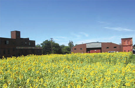 A field of blooming sunflowers planted to beautify a vacant lot.
